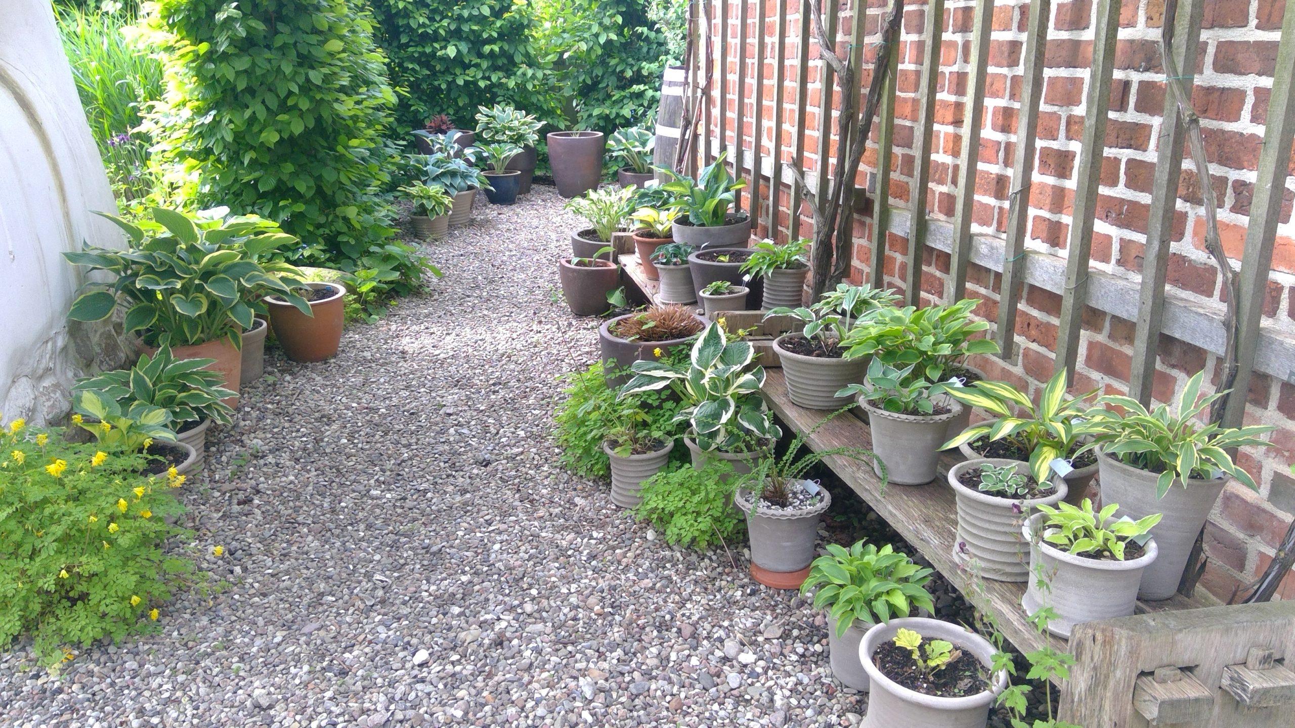 Viele Hostas sind in Töpfe und Kübel gepflanzt