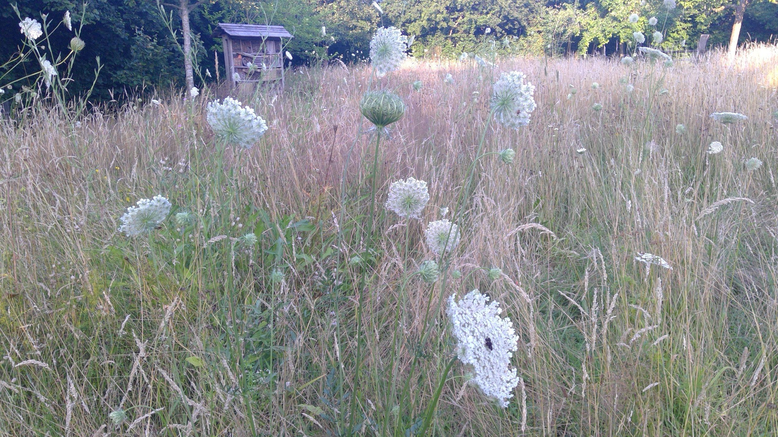 Blumenwiese mit Wilder Möhre