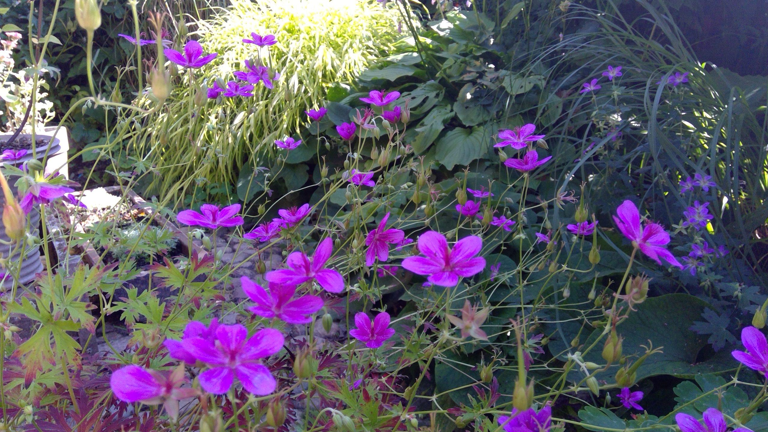 Aparte Geraniumblüten auf dem Hofplatz
